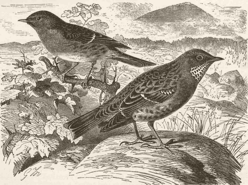 Associate Product PERCHING BIRDS. Hedge-sparrow & alpine accentor 1894 old antique print picture