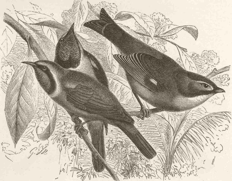 Associate Product PERCHING BIRDS. Gold-front green bulbul, red billed Liothrix 1894 print