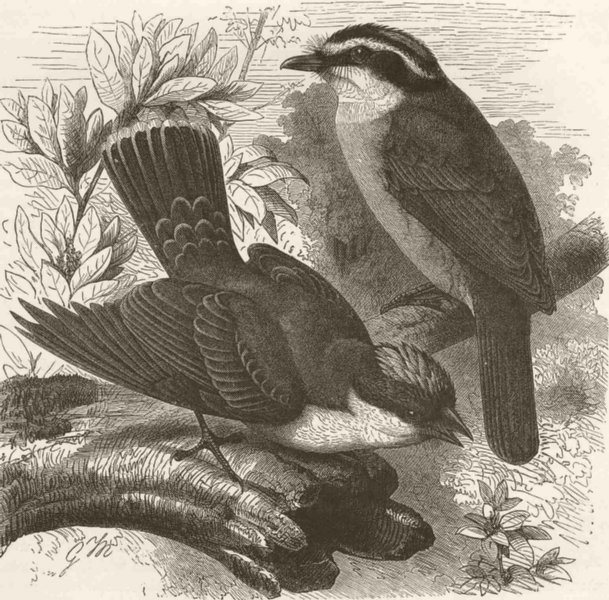 Associate Product PERCHING BIRDS. King-bird & Bienteveo tyrant flycatcher 1894 old antique print