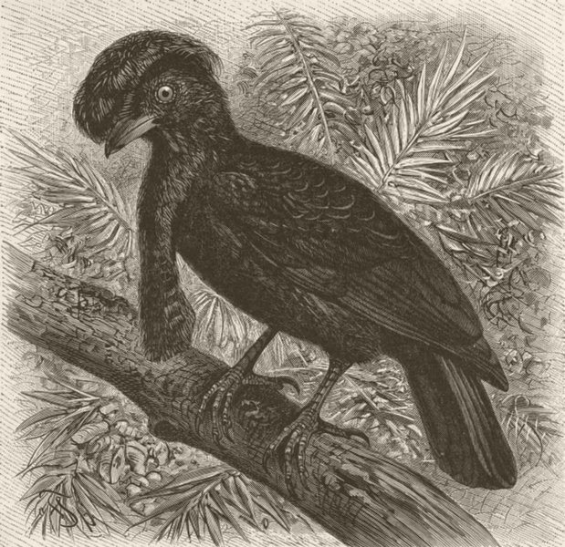 Associate Product PERCHING BIRDS. Umbrella-bird 1894 old antique vintage print picture