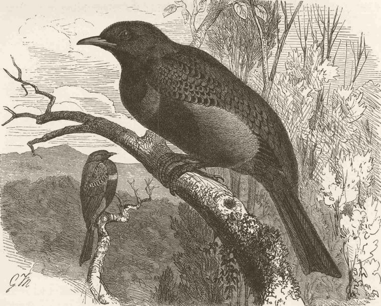 Associate Product PERCHING BIRDS. Banded cotinga 1894 old antique vintage print picture