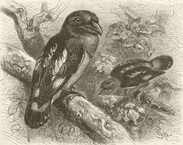 Associate Product PERCHING BIRDS. Javan broadbill 1894 old antique vintage print picture