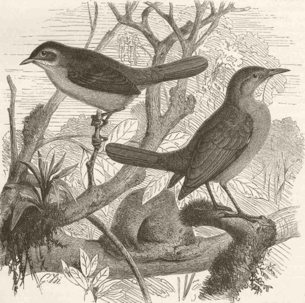 Associate Product PERCHING BIRDS. Brown-fronted spine-tail & red oven-bird 1894 old print