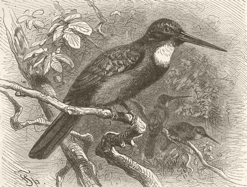 Associate Product PICARIAN BIRDS. Green jacamar 1894 old antique vintage print picture
