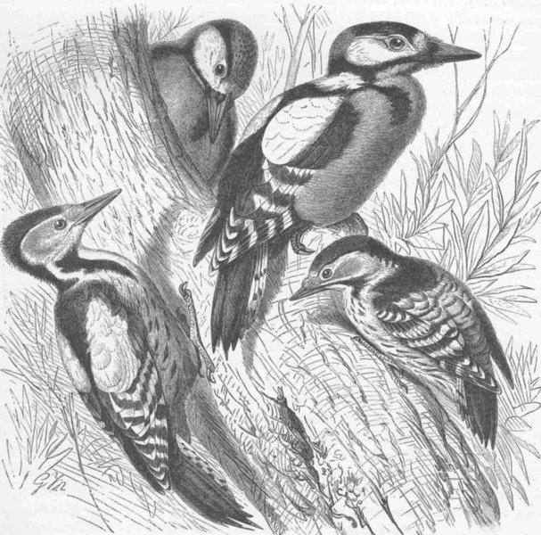 Associate Product PICARIAN BIRDS. Greater, middle & lesser spotted woodpeckers 1894 old print