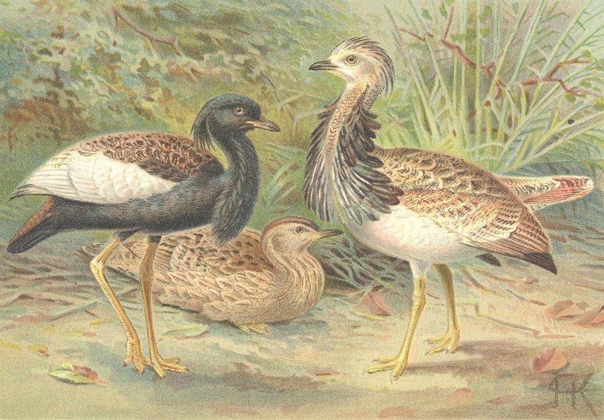 Associate Product BIRDS. Florican & Macqueen's Bustard 1895 old antique vintage print picture