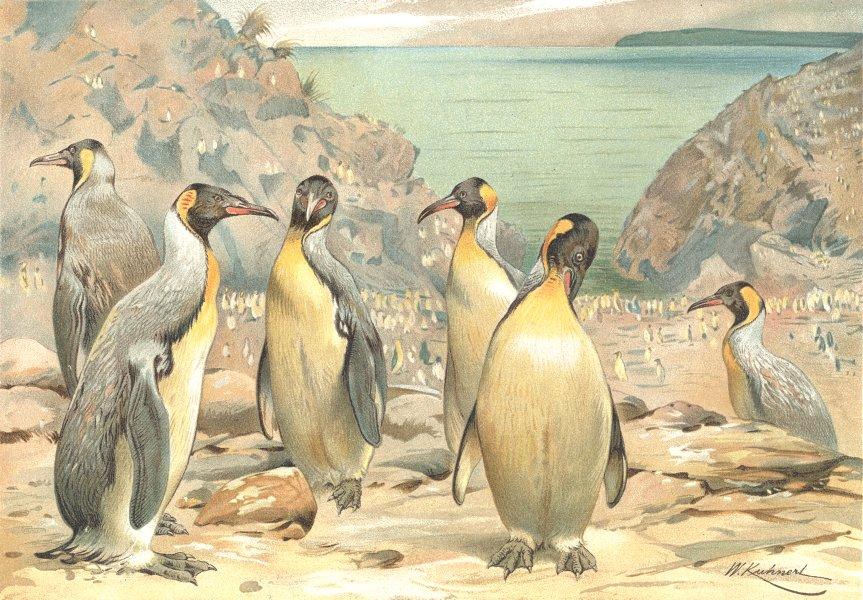 Associate Product BIRDS. Giant penguins 1895 old antique vintage print picture