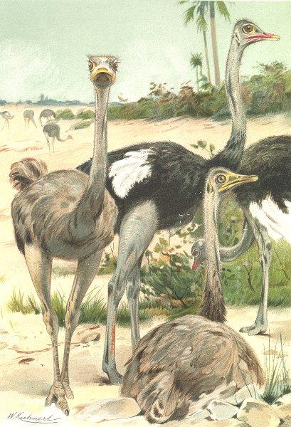 Associate Product BIRDS. Ostriches 1895 old antique vintage print picture