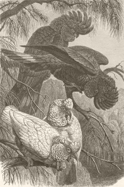 Associate Product BIRDS. Banksian & slender-billed cockatoos 1895 old antique print picture