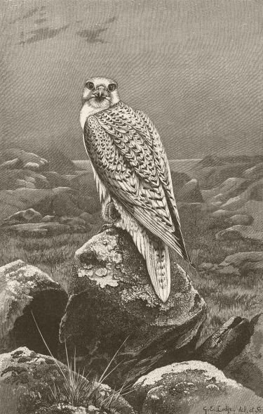 Associate Product GREENLAND. The Greenland falcon 1895 old antique vintage print picture