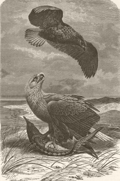 Associate Product BIRDS. White-tailed sea-eagles 1895 old antique vintage print picture
