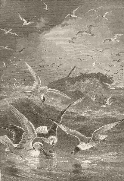 Associate Product UK BIRDS. Tern; Black-backed, Glaucous, headed gull 1895 old antique print