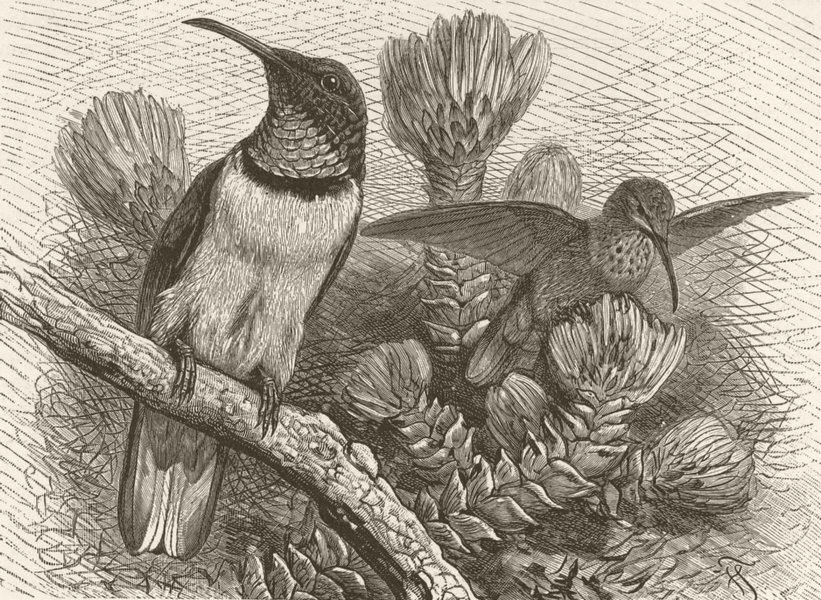 Associate Product BIRDS. Chimborazan hill-star 1895 old antique vintage print picture