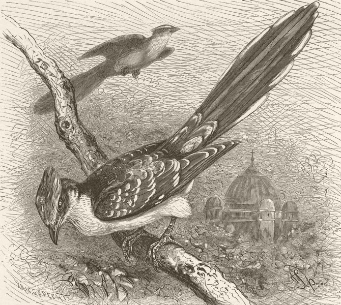 Associate Product BIRDS. Great spotted cuckoo 1895 old antique vintage print picture
