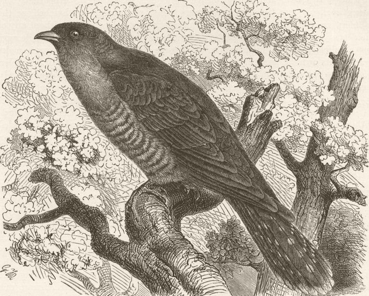 Associate Product BIRDS. Common cuckoo 1895 old antique vintage print picture