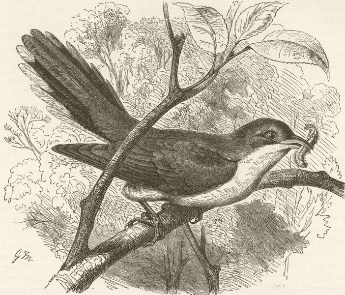 Associate Product BIRDS. Yellow-billed cuckoo 1895 old antique vintage print picture