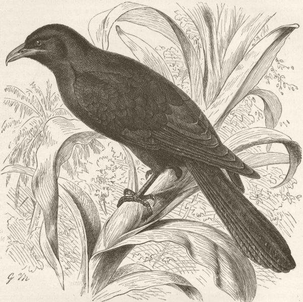 Associate Product INDIA. Young male of Indian koel  1895 old antique vintage print picture