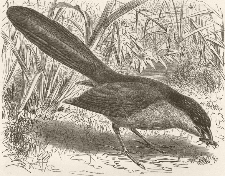 Associate Product BIRDS. Egyptian coucal 1895 old antique vintage print picture