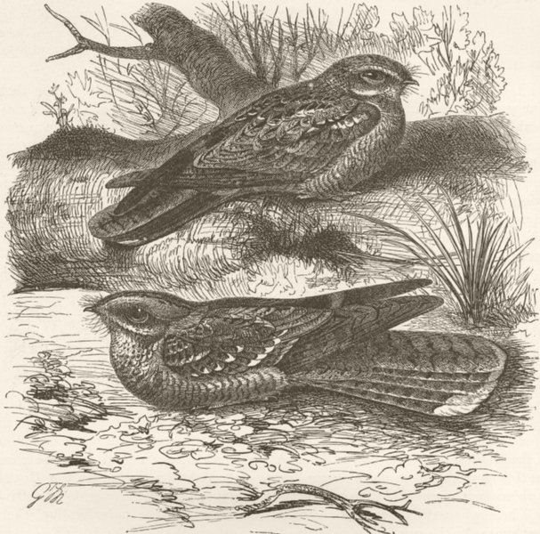 Associate Product BIRDS. Common & red-necked nightjars  1895 old antique vintage print picture