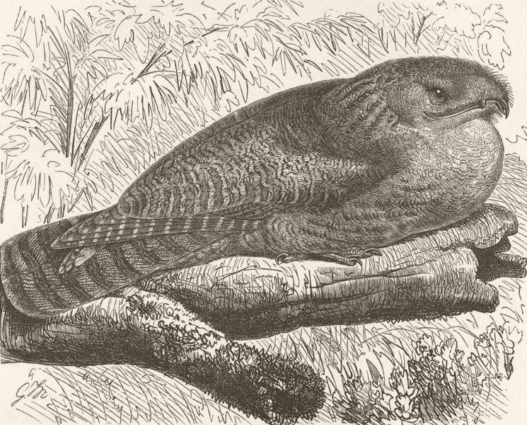 Associate Product BIRDS. Great wood-nightjar 1895 old antique vintage print picture