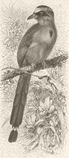 Associate Product BIRDS. Brazilian motmot 1895 old antique vintage print picture