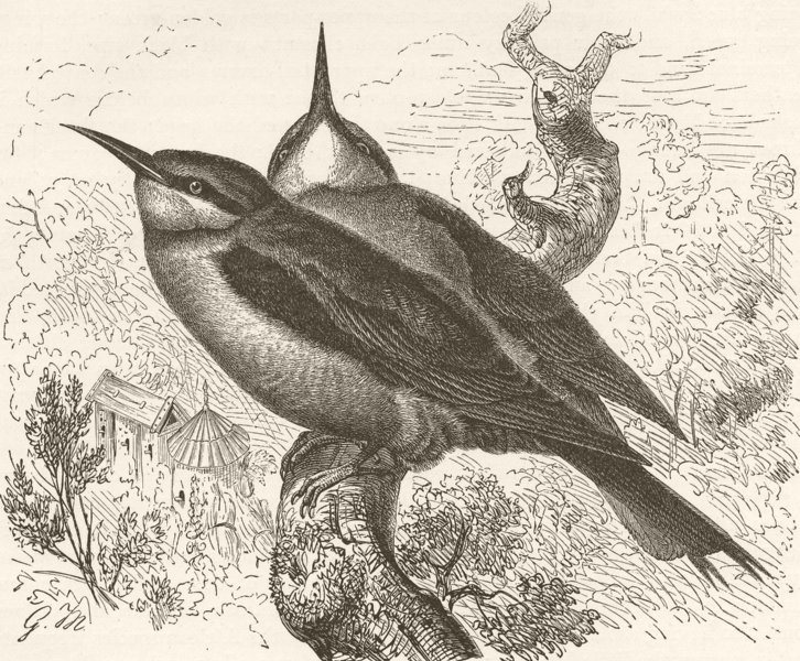 Associate Product BIRDS. Common bee-eater 1895 old antique vintage print picture