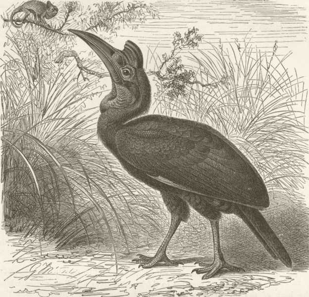 Associate Product BIRDS. Abyssinian ground-hornbill 1895 old antique vintage print picture