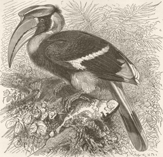 Associate Product BIRDS. Two-horned hornbill 1895 old antique vintage print picture
