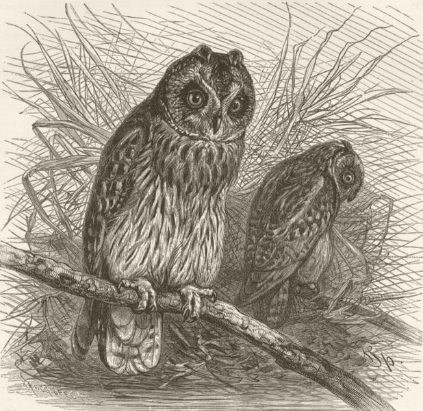 Associate Product BIRDS. Short-eared owl 1895 old antique vintage print picture