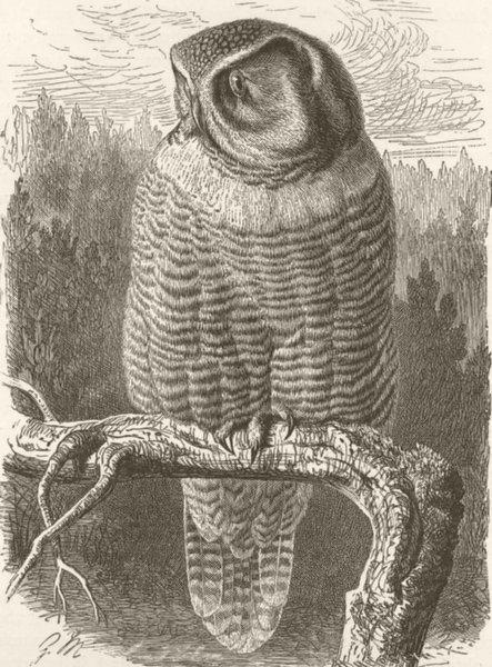 Associate Product BIRDS. The hawk-owl 1895 old antique vintage print picture