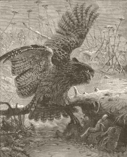Associate Product BIRDS. Eagle owl seizing its prey 1895 old antique vintage print picture