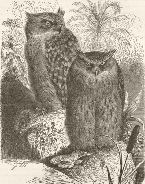 Associate Product INDIA. Indian fish-owl 1895 old antique vintage print picture