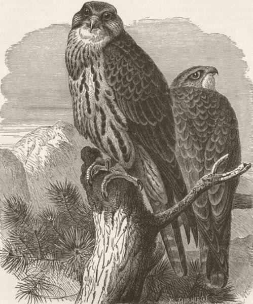 BIRDS. Saker falcon 1895 old antique vintage print picture