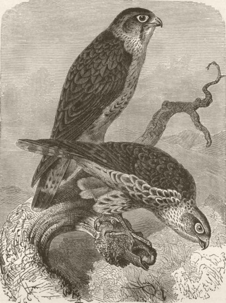 Associate Product BIRDS. Merlins 1895 old antique vintage print picture