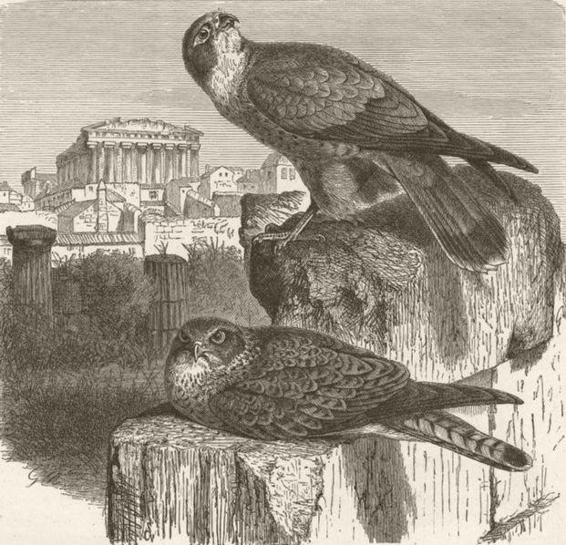 Associate Product BIRDS. Lesser kestrel 1895 old antique vintage print picture