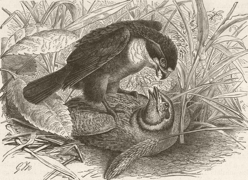 Associate Product BIRDS. Black-legged falconet prey  1895 old antique vintage print picture
