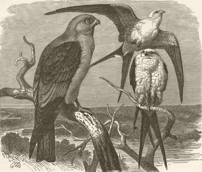 Associate Product MISSISSIPPI. Falcon & swallow-tailed kite  1895 old antique print picture