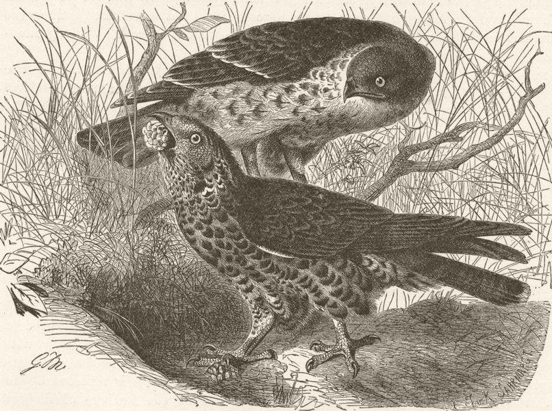 Associate Product BIRDS. Honey-buzzards 1895 old antique vintage print picture