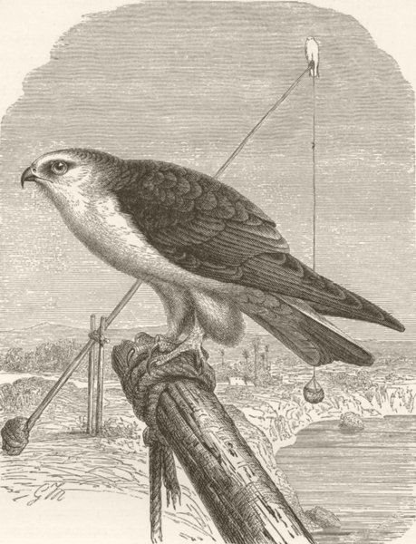 Associate Product BIRDS. Black-winged kite 1895 old antique vintage print picture
