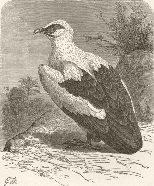 Associate Product BIRDS. Vulturine sea-eagle 1895 old antique vintage print picture