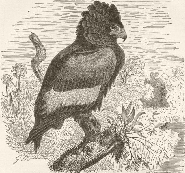 Associate Product BIRDS. Bateleur eagle 1895 old antique vintage print picture