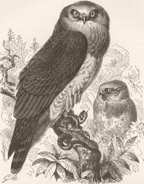 BIRDS. Common harrier-eagle 1895 old antique vintage print picture