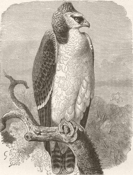Associate Product BIRDS. Warlike crested eagle 1895 old antique vintage print picture