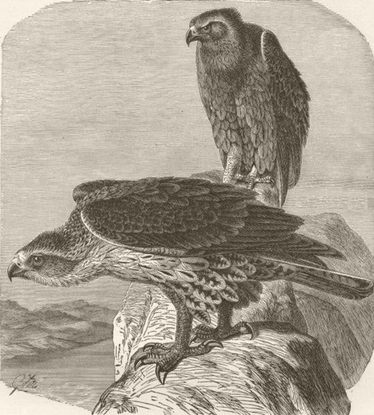 Associate Product BIRDS. Bonelli's hawk-eagle 1895 old antique vintage print picture