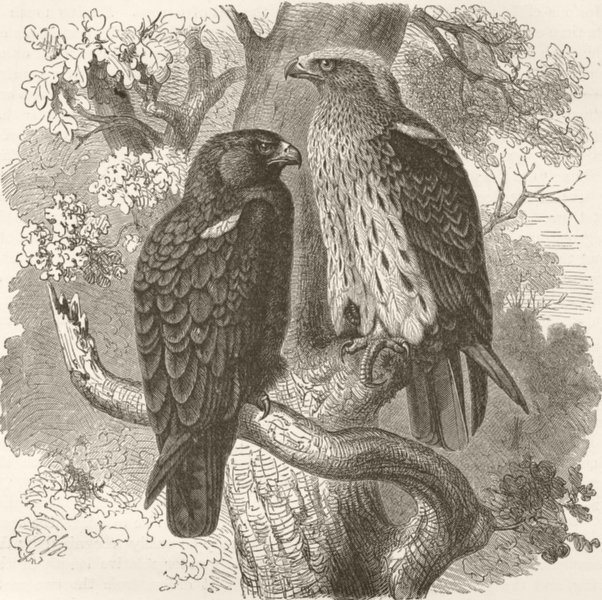 Associate Product BIRDS. Booted hawk-eagle 1895 old antique vintage print picture
