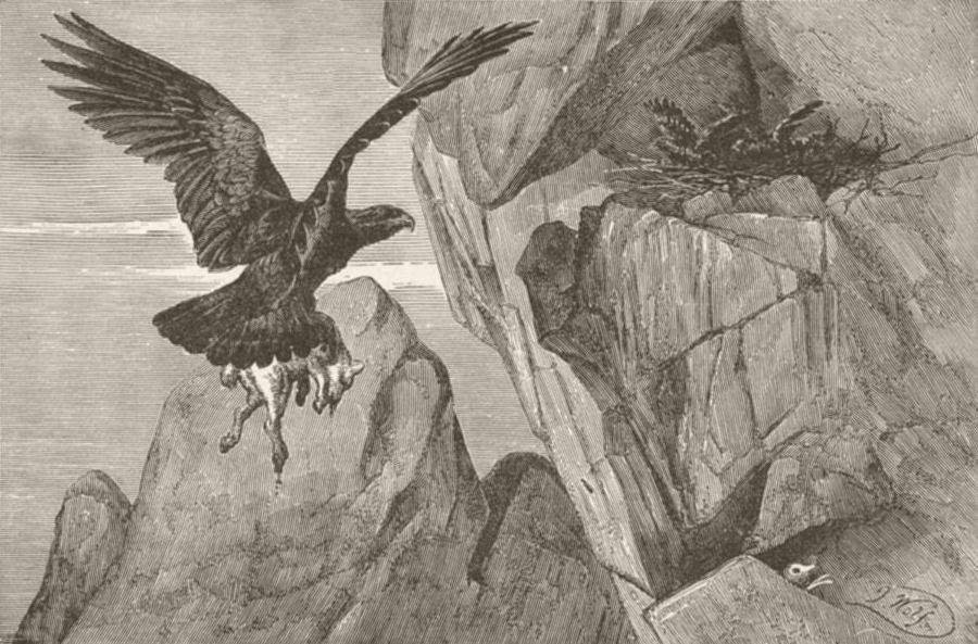 Associate Product BIRDS. Golden eagle's eyrie 1895 antique vintage print picture
