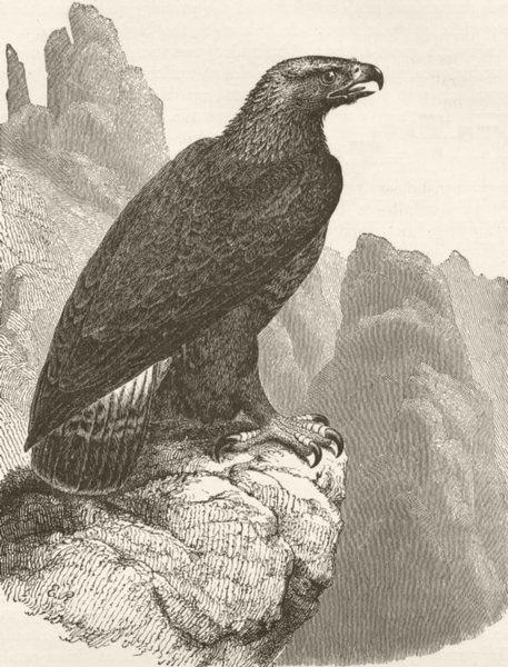 Associate Product BIRDS. Immature golden eagle 1895 antique vintage print picture