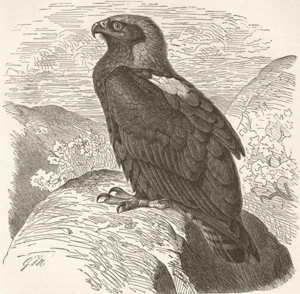 BIRDS. Imperial eagle 1895 old antique vintage print picture