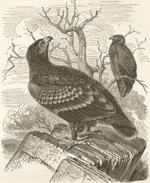 Associate Product BIRDS. Spotted eagle 1895 old antique vintage print picture