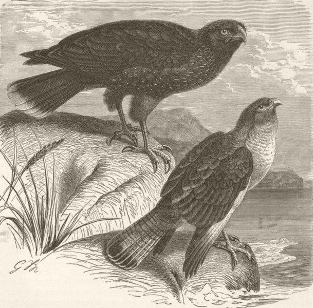 Associate Product BIRDS. Falkland island & chimachima caracaras  1895 old antique print picture